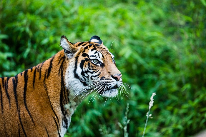 sumatran-tiger-at-zsl-london-zoo-czsl - copy.jpg